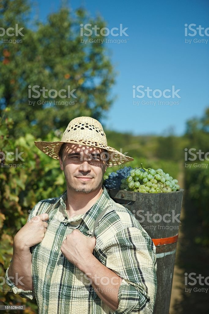 Vintager harvesting grapes stock photo