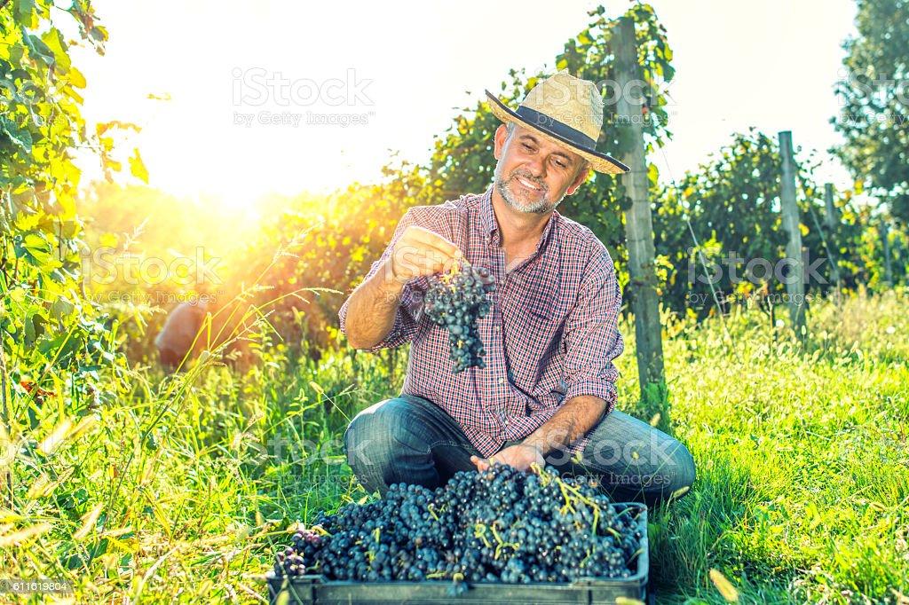 Vintner Analyzing Grapes In Vineyard stock photo