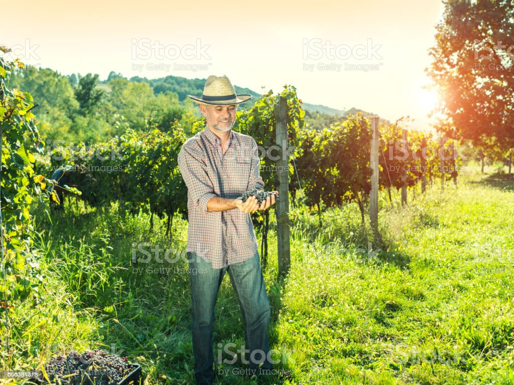 Vintner Analyzing Grapes In Vineyard stock photo