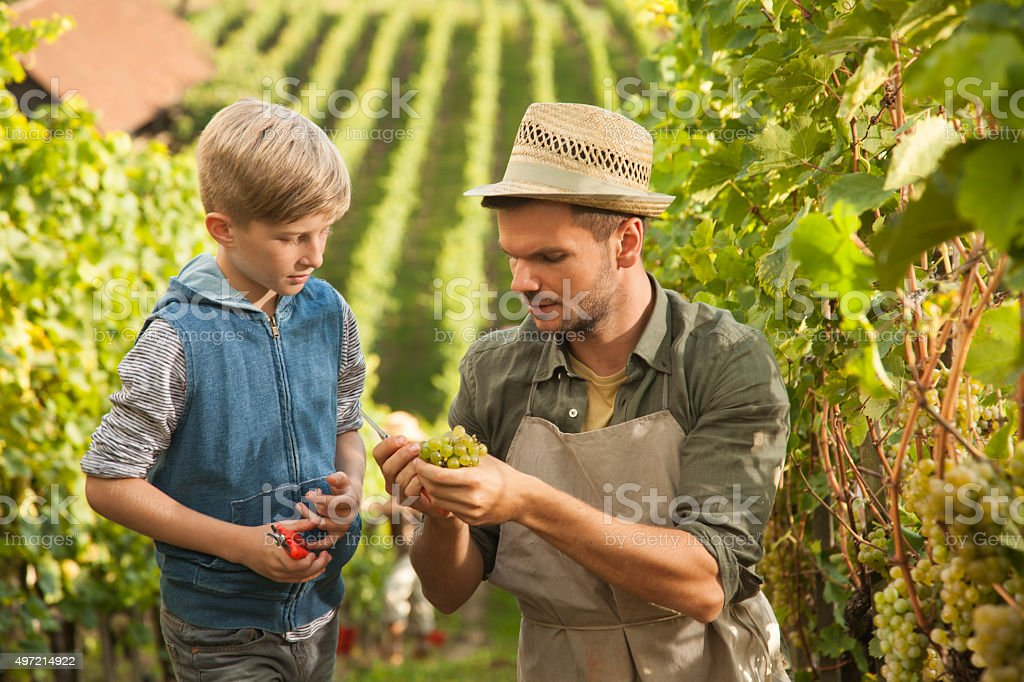 Vintner teaching his son about grapes stock photo