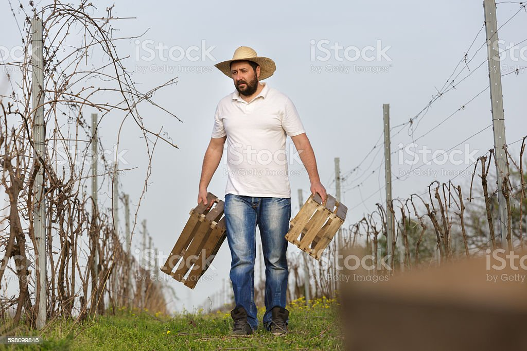 Vintner working in vineyard stock photo