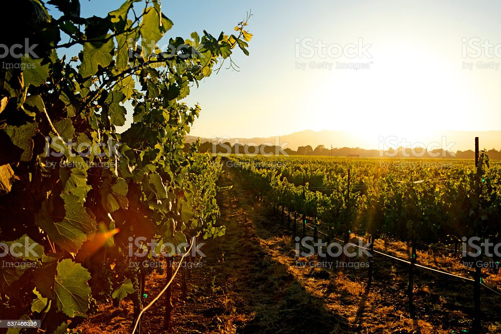 Vinyard At Sunset stock photo