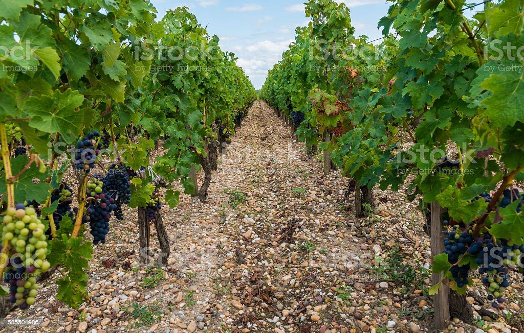 Vinyard in Saint Julien stock photo