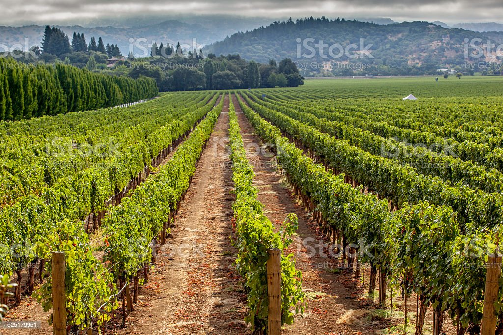 Vinyard, Nappa valley stock photo