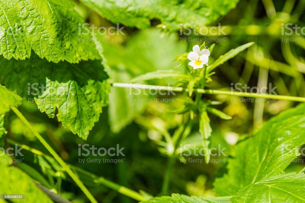 Viola arvensis (field pansy). stock photo