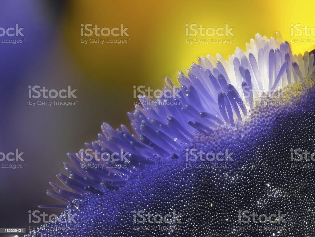 Viola flower extreme macro royalty-free stock photo