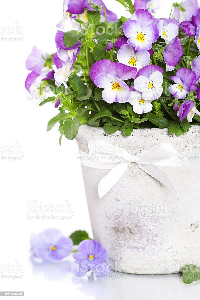 viola flowers royalty-free stock photo