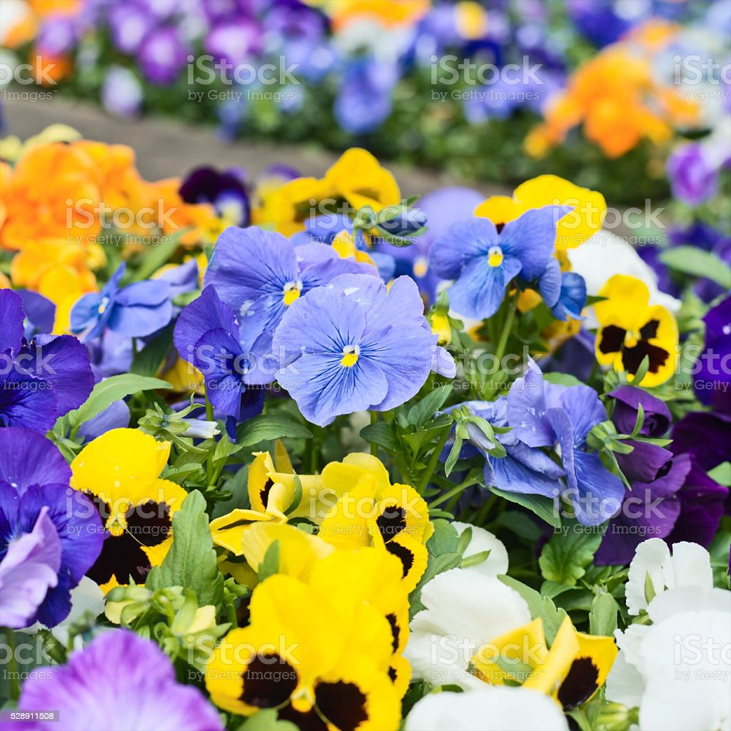 Viola pansy flower close-up shot stock photo