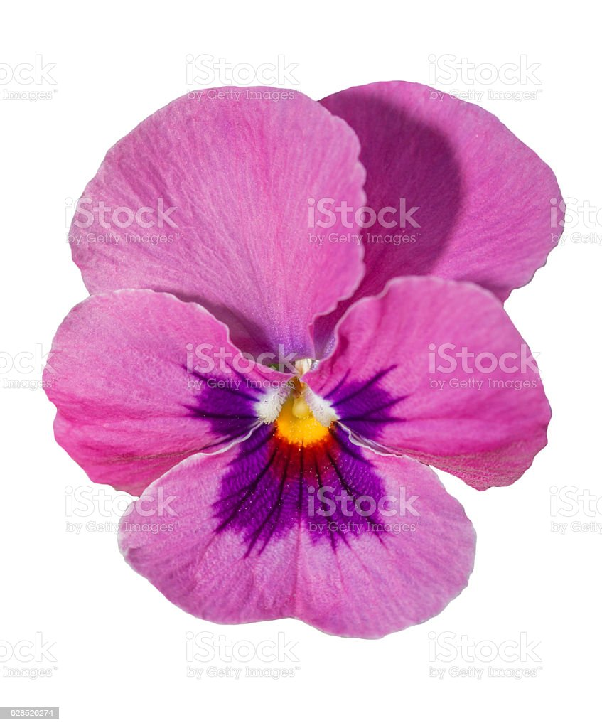 Viola purple Pansy Flower Isolated on White stock photo