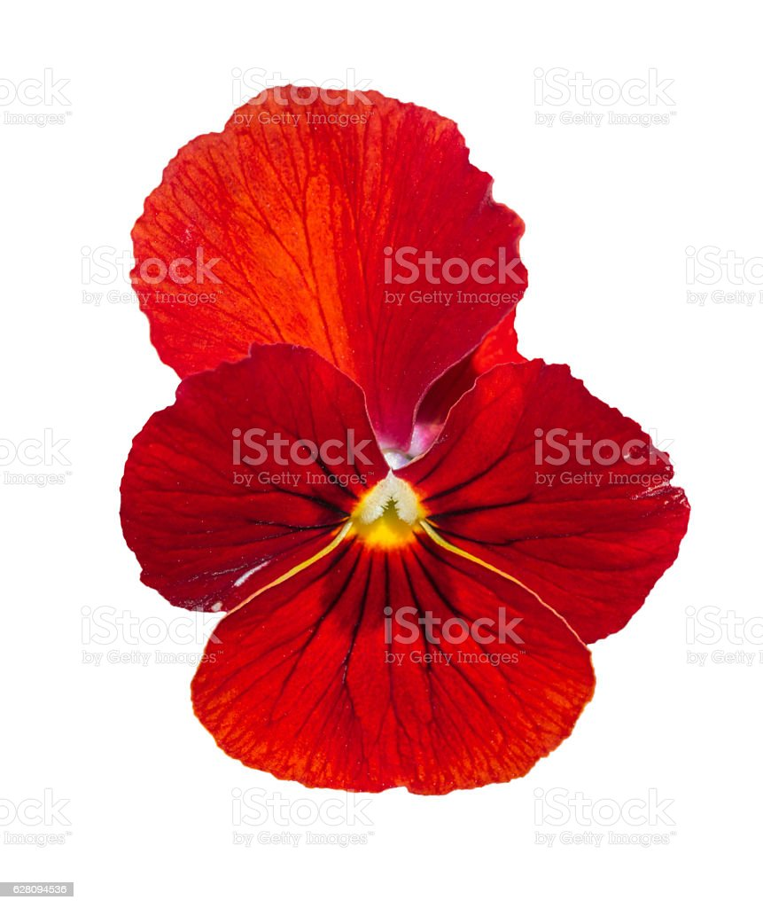Viola red Pansy Flower Isolated on White stock photo