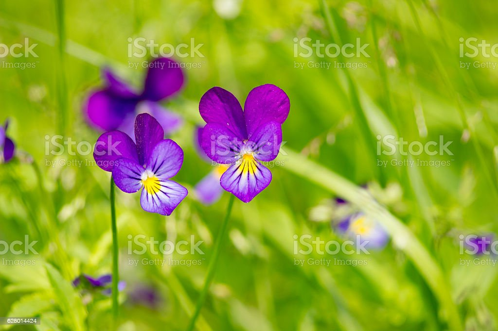 Viola Tricolor - Johnny Jump Up stock photo