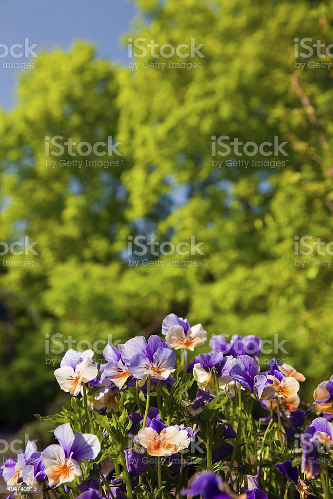 Violaceae stock photo
