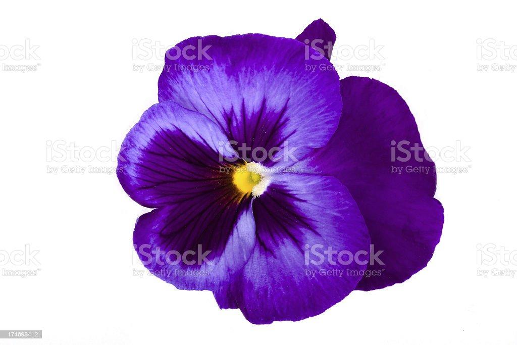 Viola/Pansy stock photo