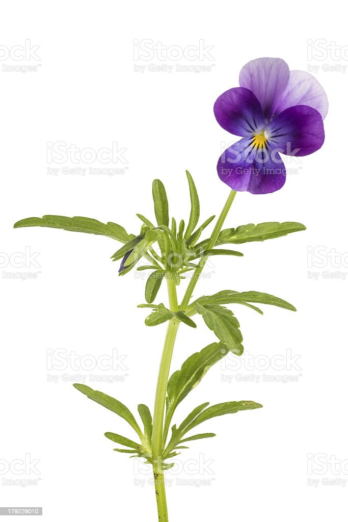 Viola/pansy tricolor isolated on white background stock photo