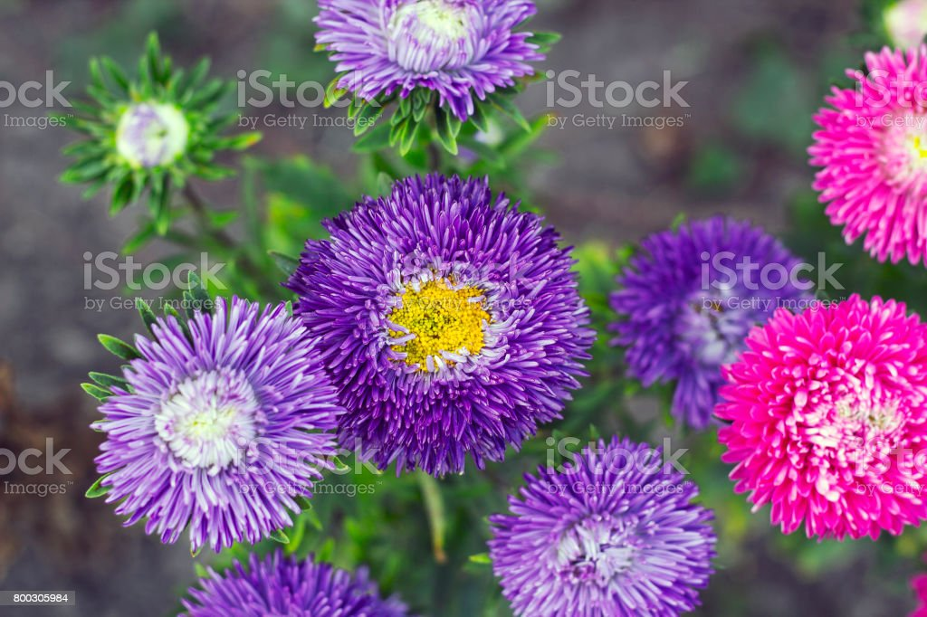 Violet and pink Asters flowers grow in garden top view, selective focus stock photo