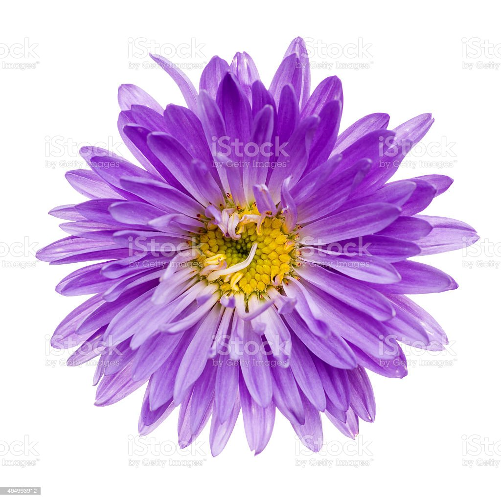 Violet aster isolated stock photo