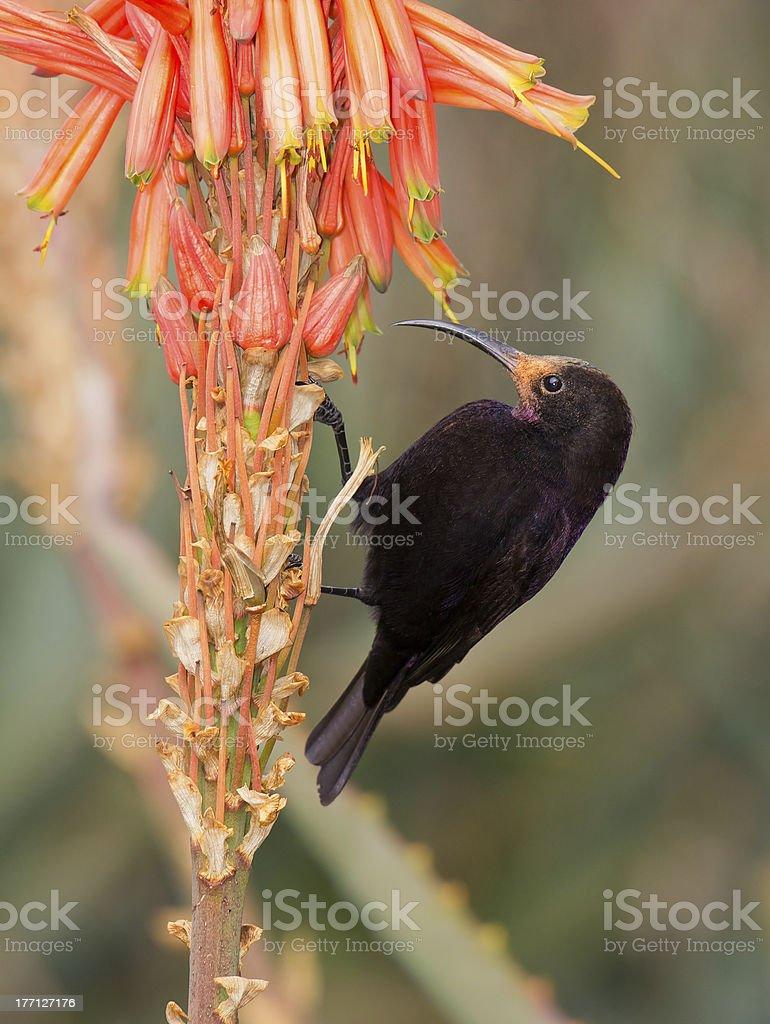 Violet backed sunbird na Aloe zbiór zdjęć royalty-free