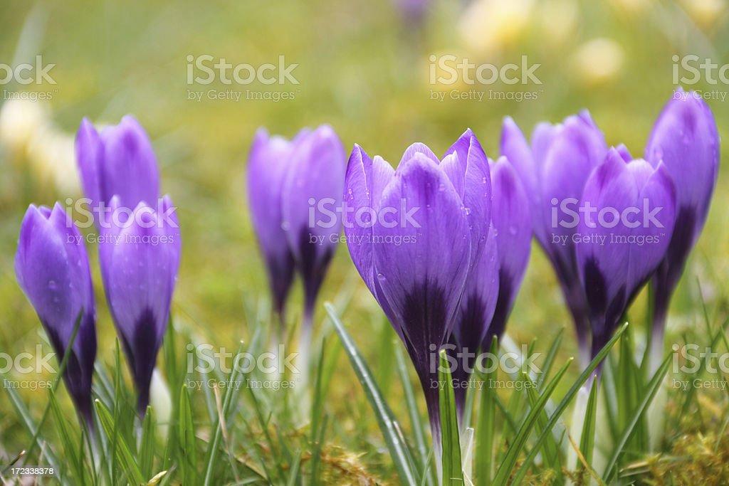 Violet blooming crocus royalty-free stock photo