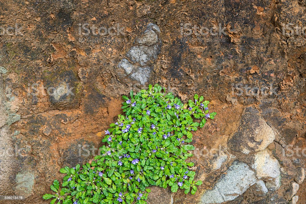 Violet bugleweed(Ajuga) in the mountain stock photo