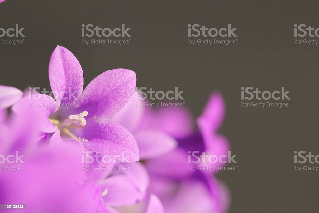 Violett Campanula Flower stock photo