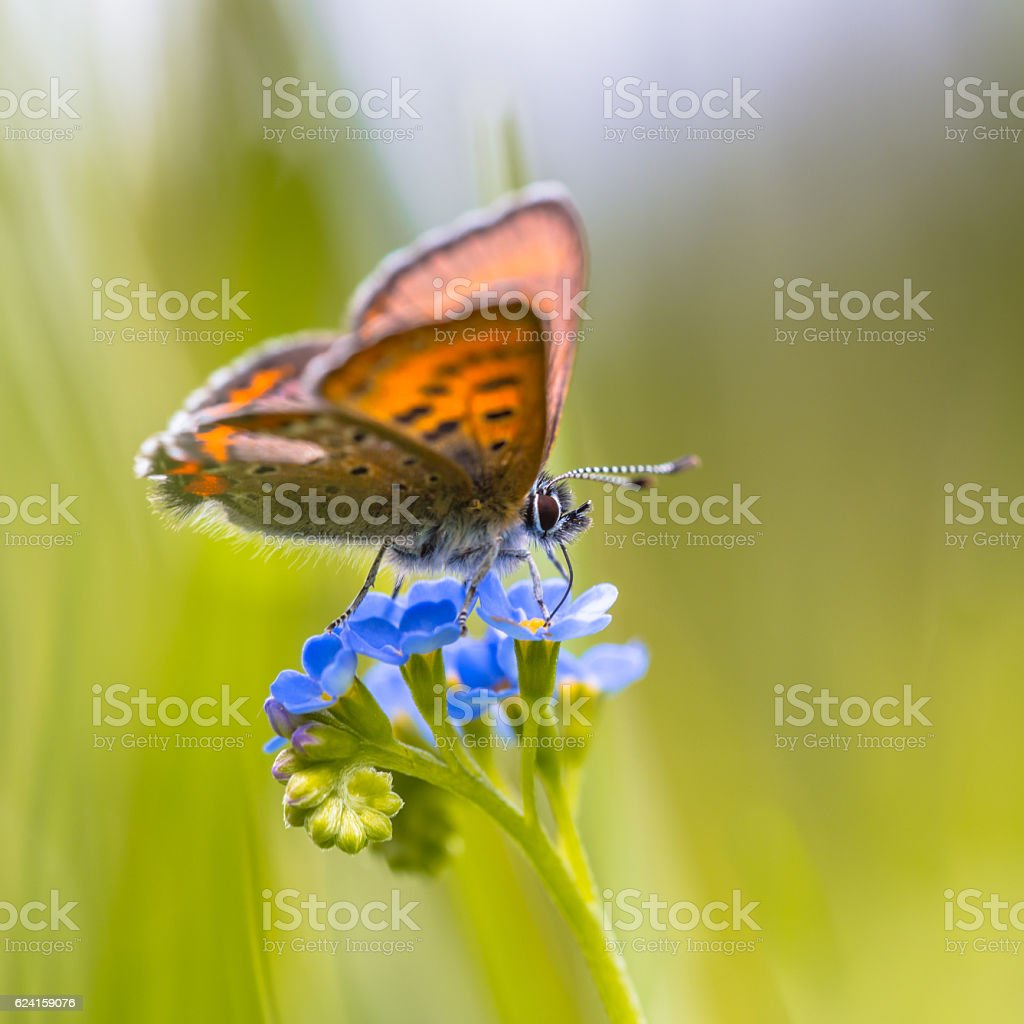 Violet Copper on forget-me-not stock photo