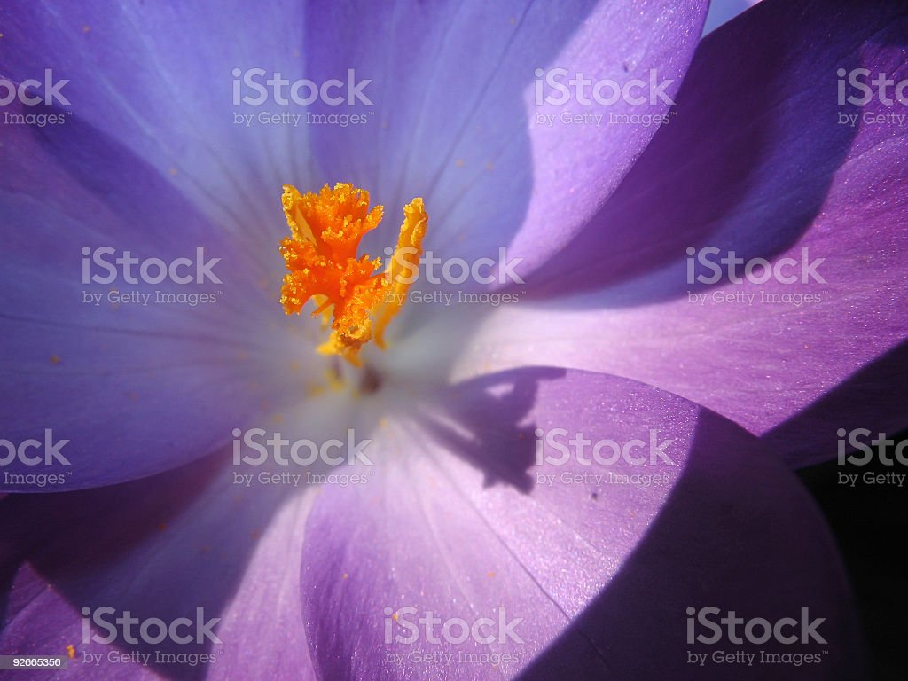 ヴァイオレットクロッカスの花に ロイヤリティフリーストックフォト