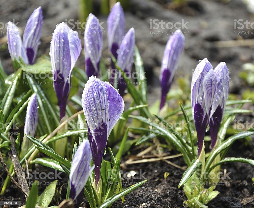 Violet crocus flowers royalty-free stock photo