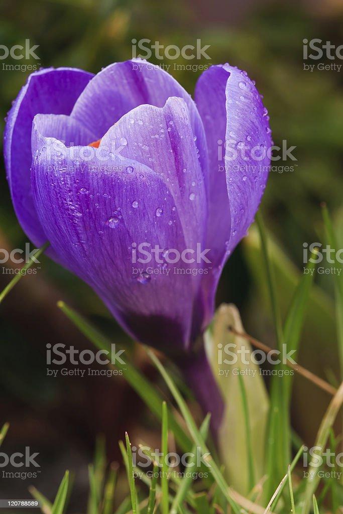 Violet crocus royalty-free stock photo