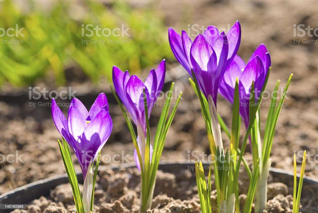 Violet crocus royalty-free stock photo