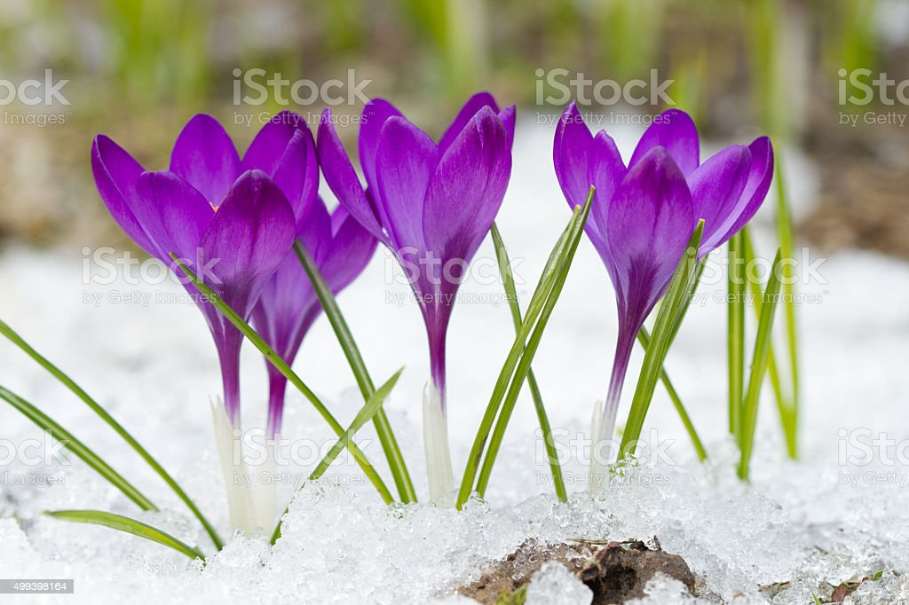 Violet crocuses in winter stock photo