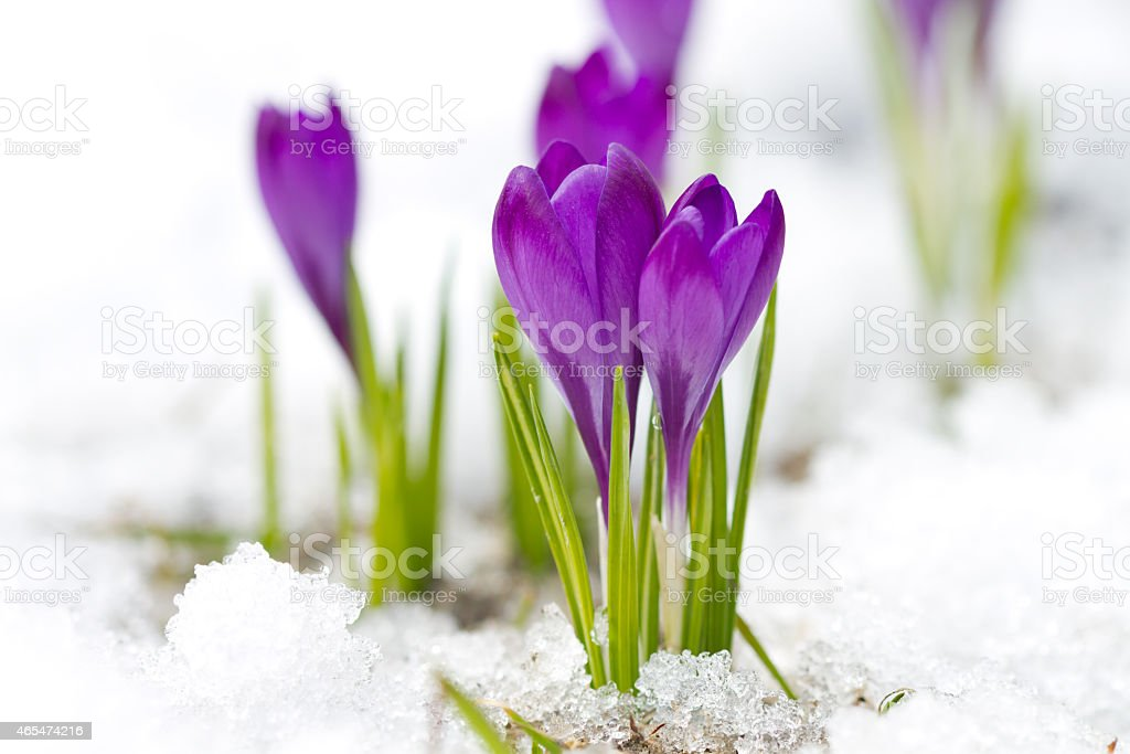 Violet crocuses stock photo