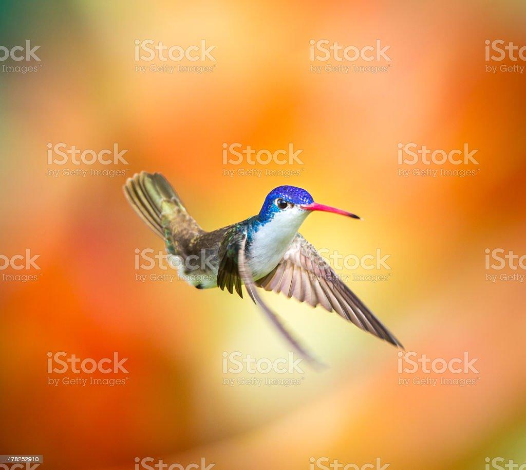 Violet Crowned Hummingbird. stock photo