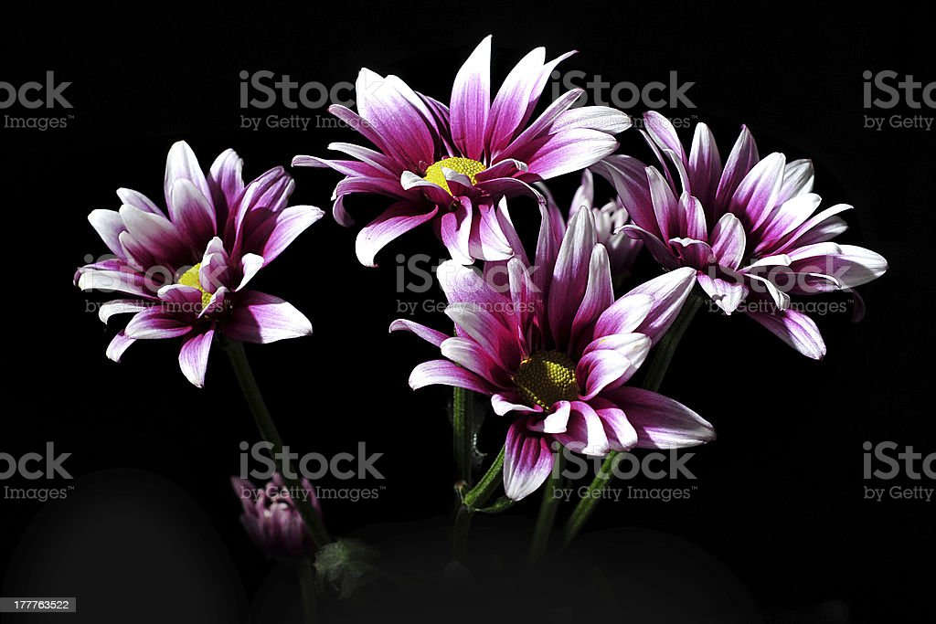 Violet Crysanthemum stock photo