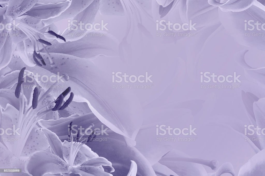 Violet floral background. Flowers of lilies on a pastel purple background. Postcard for the holiday. Nature. stock photo