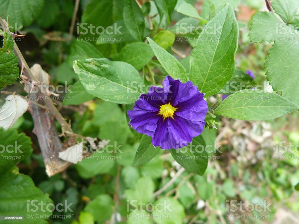 Violet flower in the country of Cinque Terre, Italy stock photo