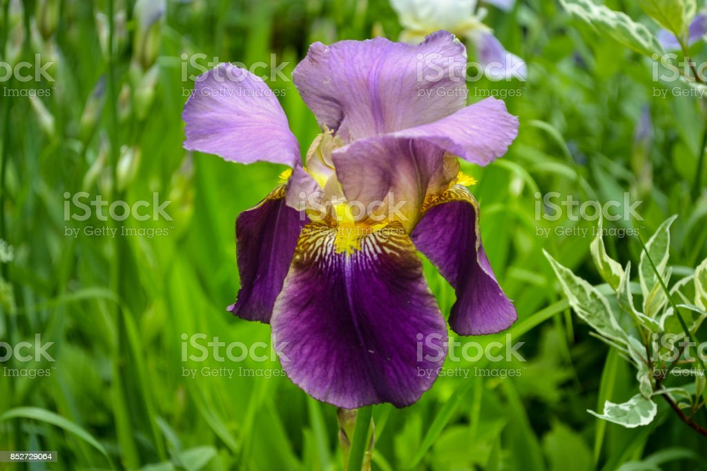 Violet flower iris close-up stock photo