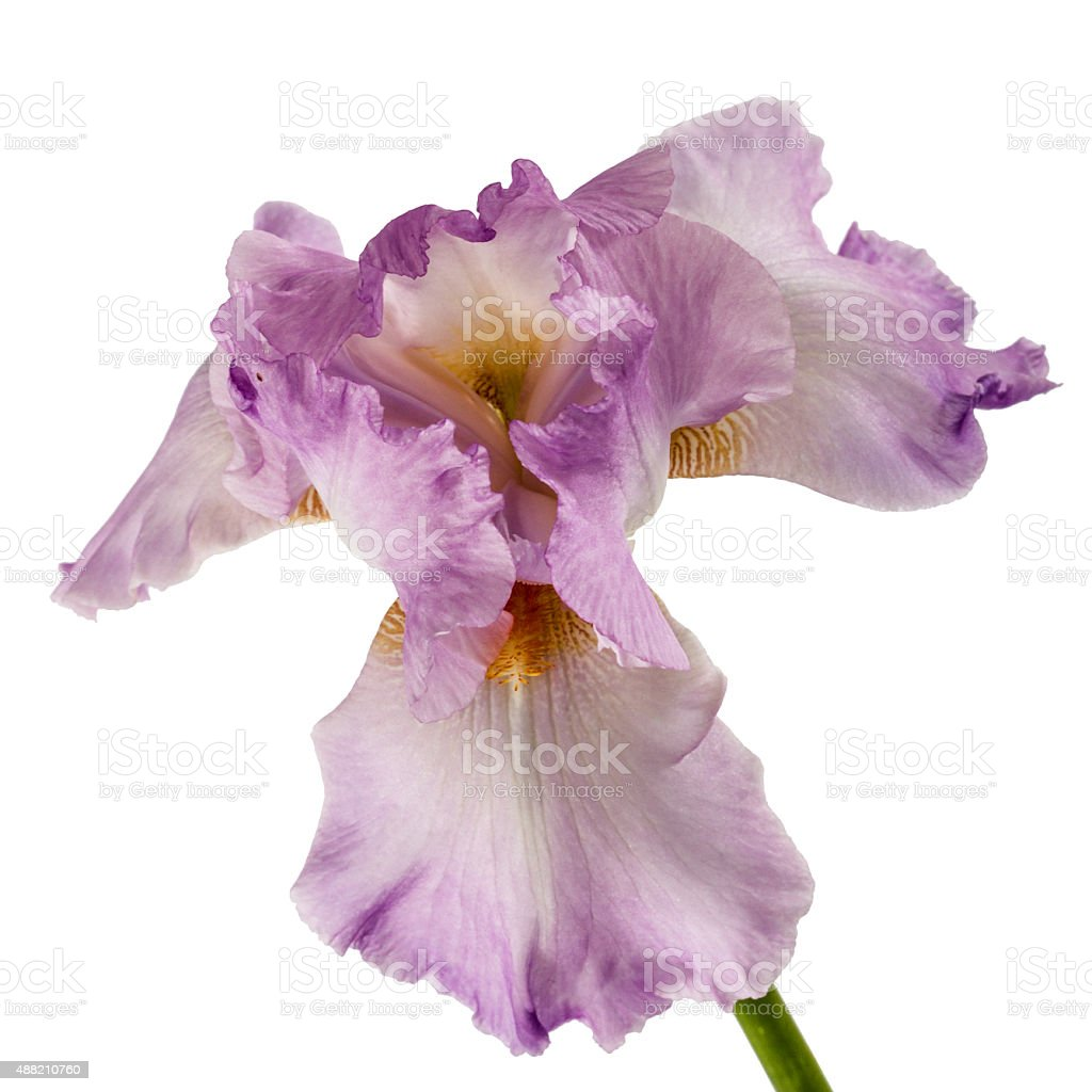 Violet flower of iris isolated on white background stock photo violet flower of iris isolated on white background royalty free stock photo izmirmasajfo