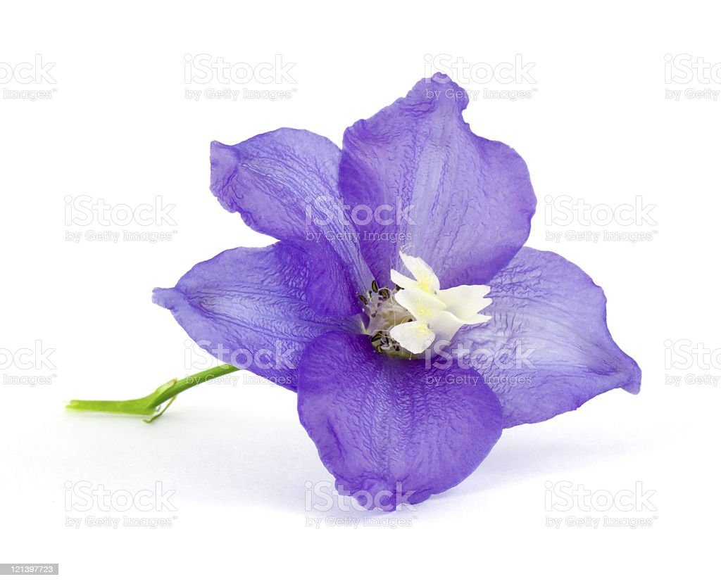 A violet flower on an isolated white background royalty-free stock photo