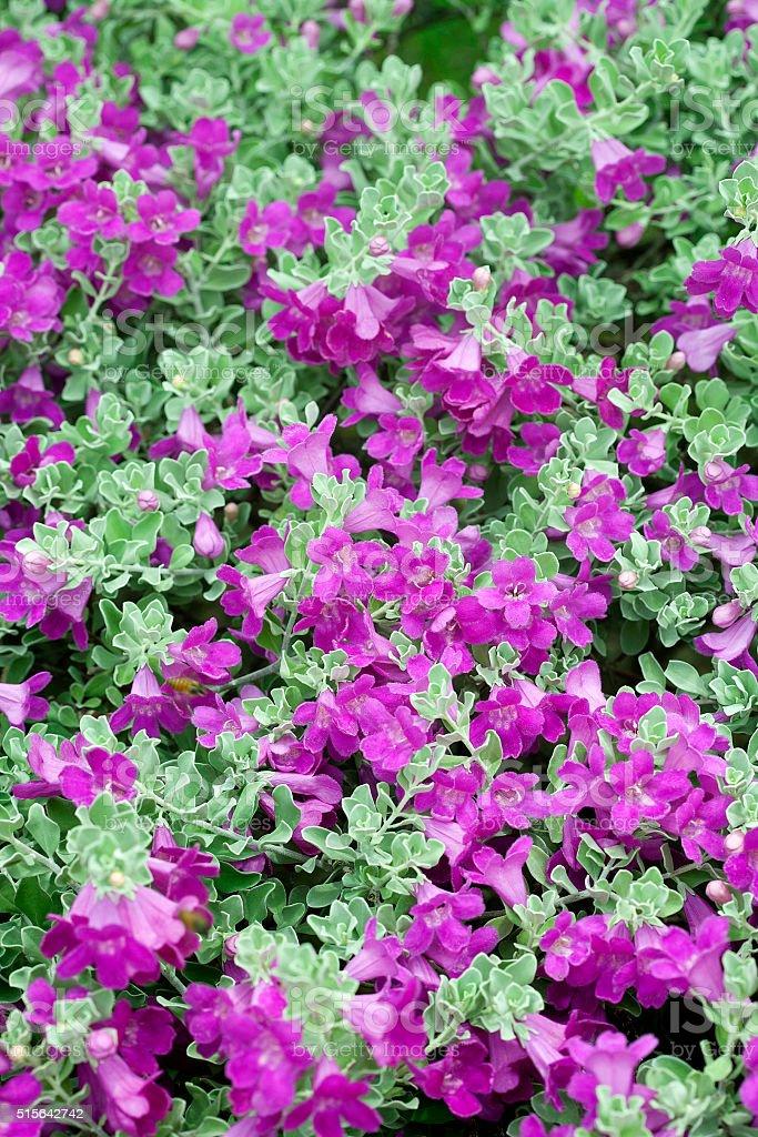 Violet flower on tropical garden stock photo