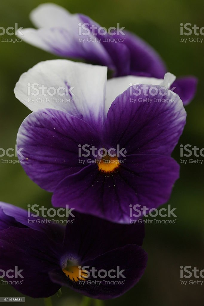 Violet flower with yellow center. stock photo