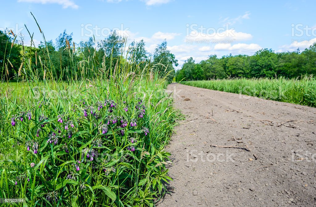 Violet flowering common comfrey plant in the foreground stock photo