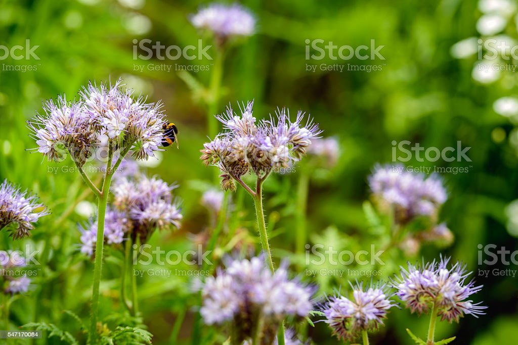 Violet flowering Lacy phacelia  and a hairy bumblebee stock photo