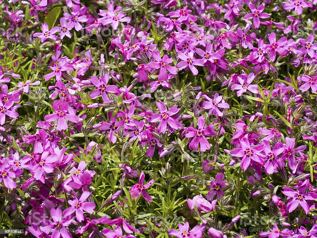 violet flowers background royalty-free stock photo