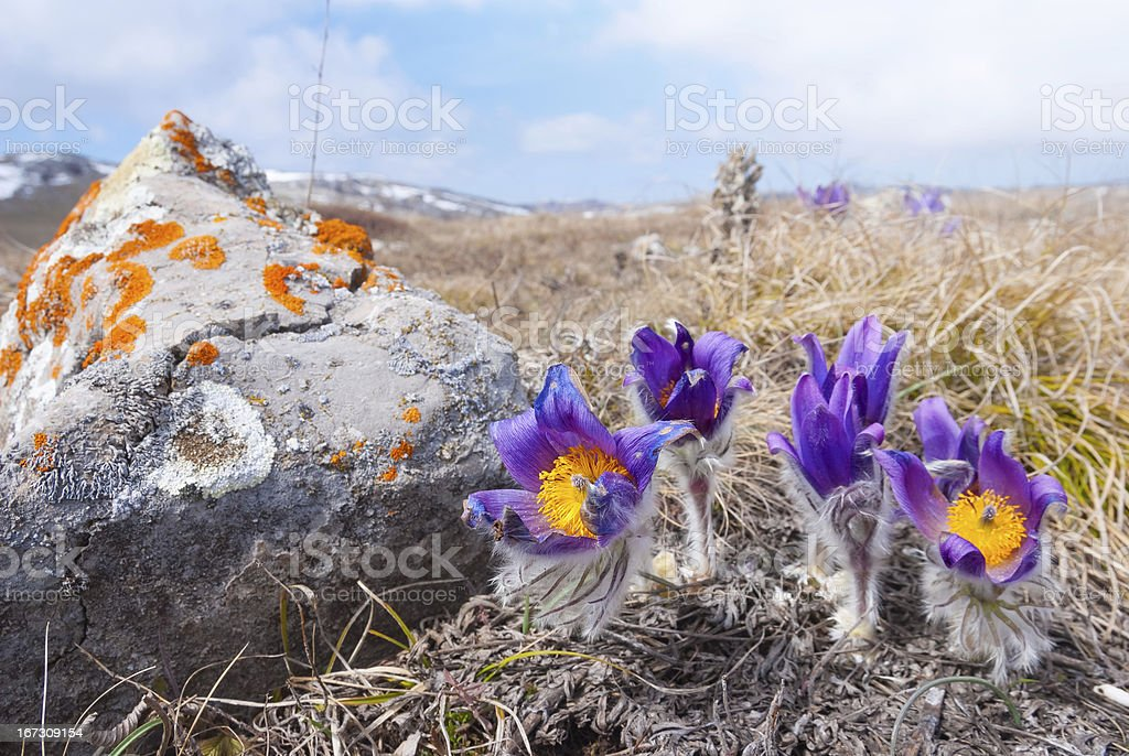 violet flowers in a steppe royalty-free stock photo