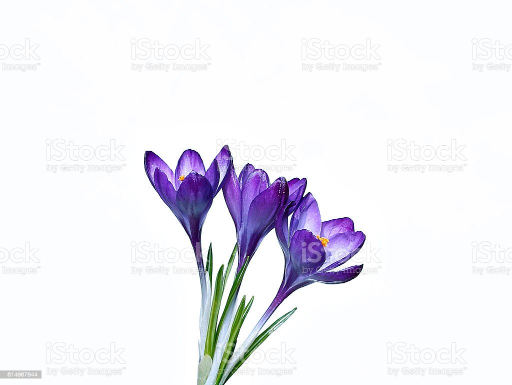 Violet flowers of crocus isolated stock photo