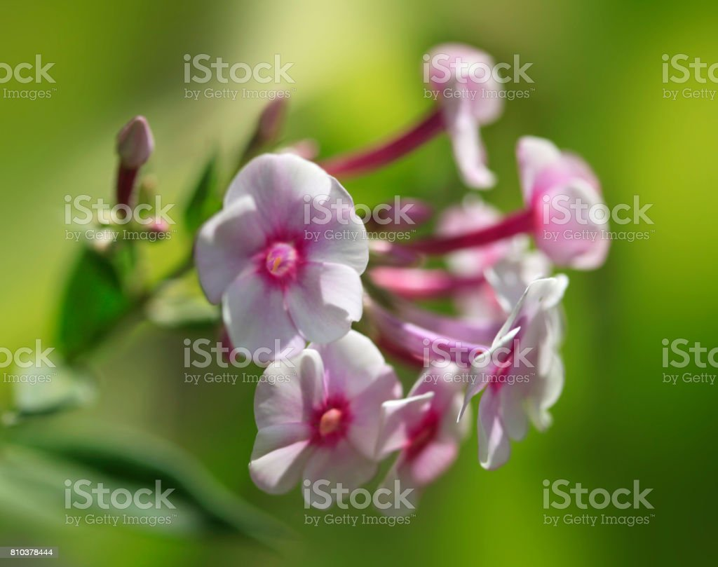 violet flowers on green background stock photo