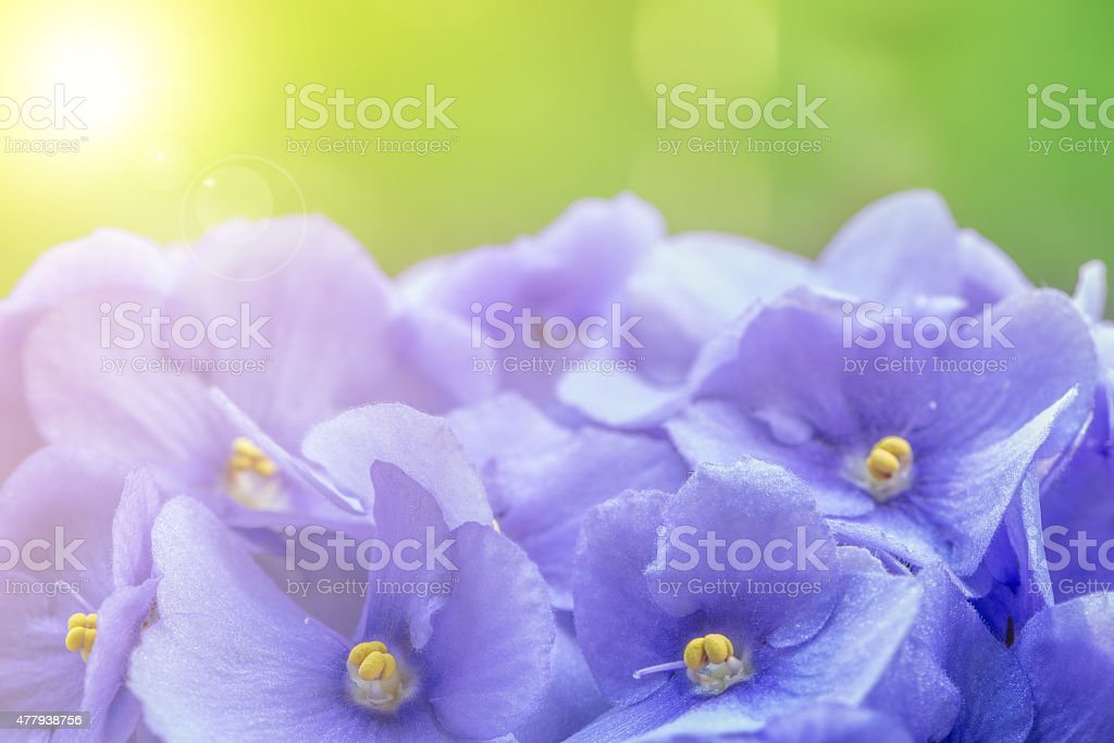 Violet flowers. stock photo