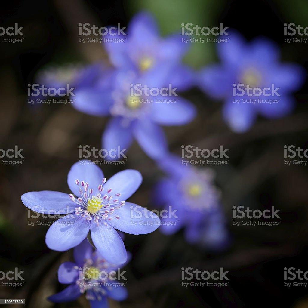 Violet forest flower Hepatica nobilis royalty-free stock photo