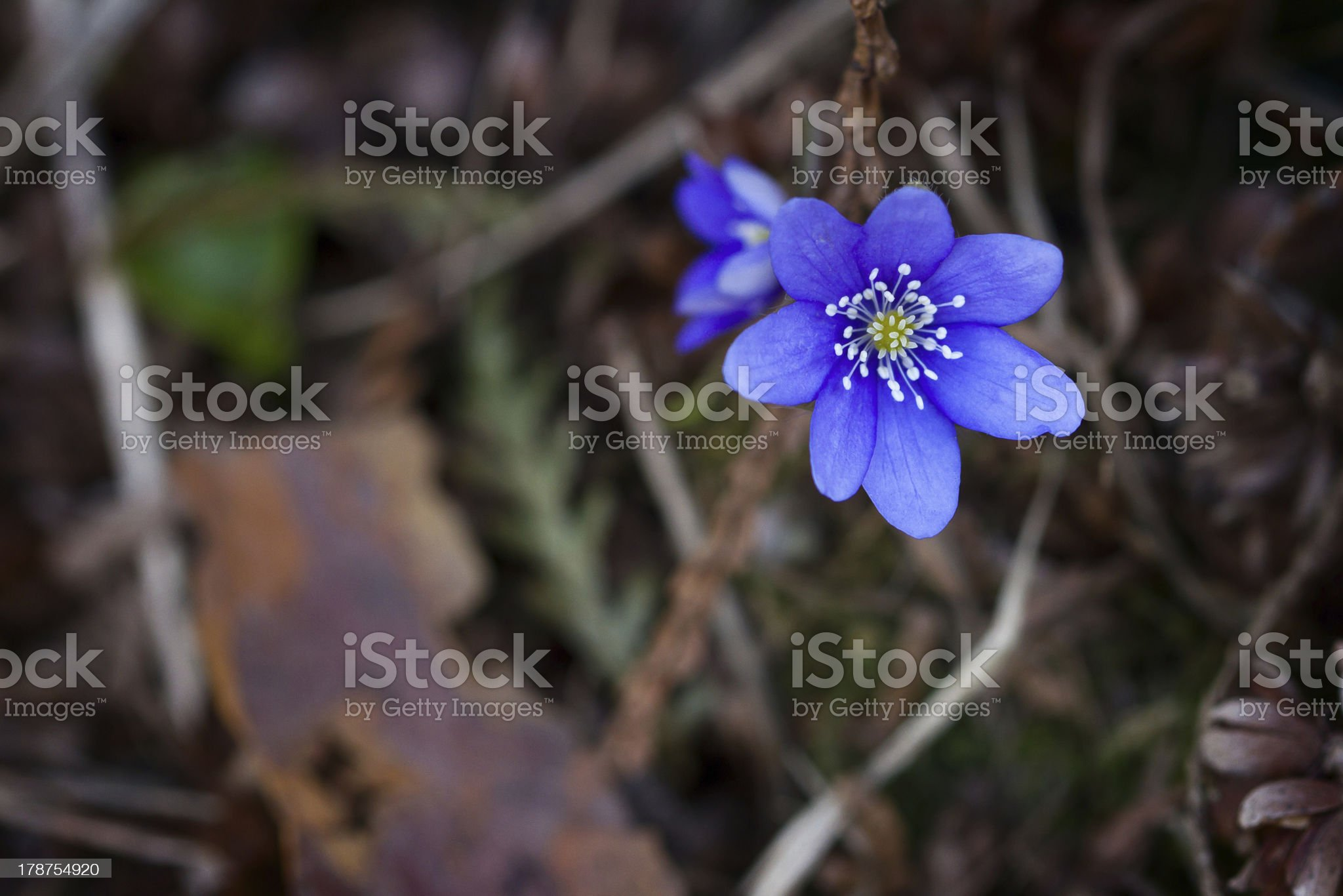 Violet forest flower royalty-free stock photo