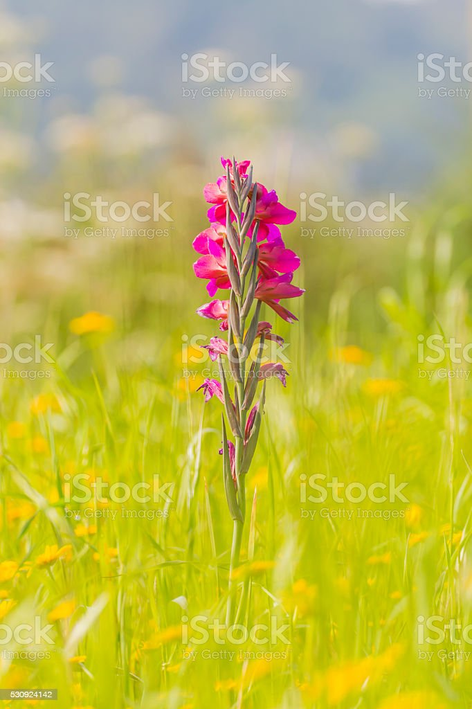 violet gladiolus in the middle of a marigolds field stock photo